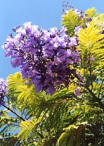 TROPICA - Jacaranda (Jacaranda mimosafolia) - 50 Samen