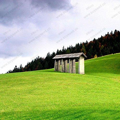 Semences de gazon spécial Graines semences fraîches vert tendre Runner Lawn Evergreen vivaces 500 particules / un pack professionnel