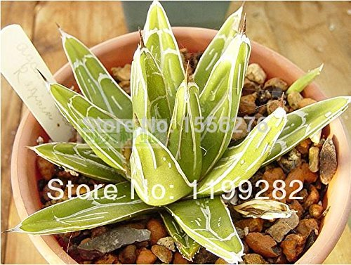 graines 100PCS Dichondra Repens gazon Hanging Jardin des Plantes décoratives Bonsai facilement en pot 100% Vrai semences