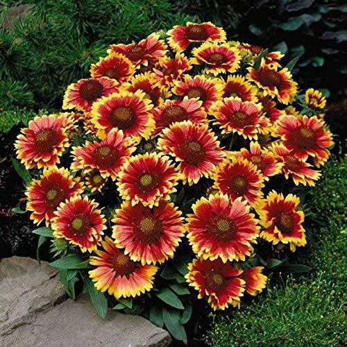XINDUO Blumensamen winterhart mehrjährig,Gaillardia Samen-500g,Blumensamen für Garten Balkon