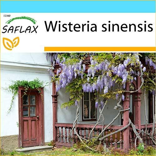 SAFLAX - Kit cadeau - Glycine de Chine - 4 graines - Wisteria sinensis
