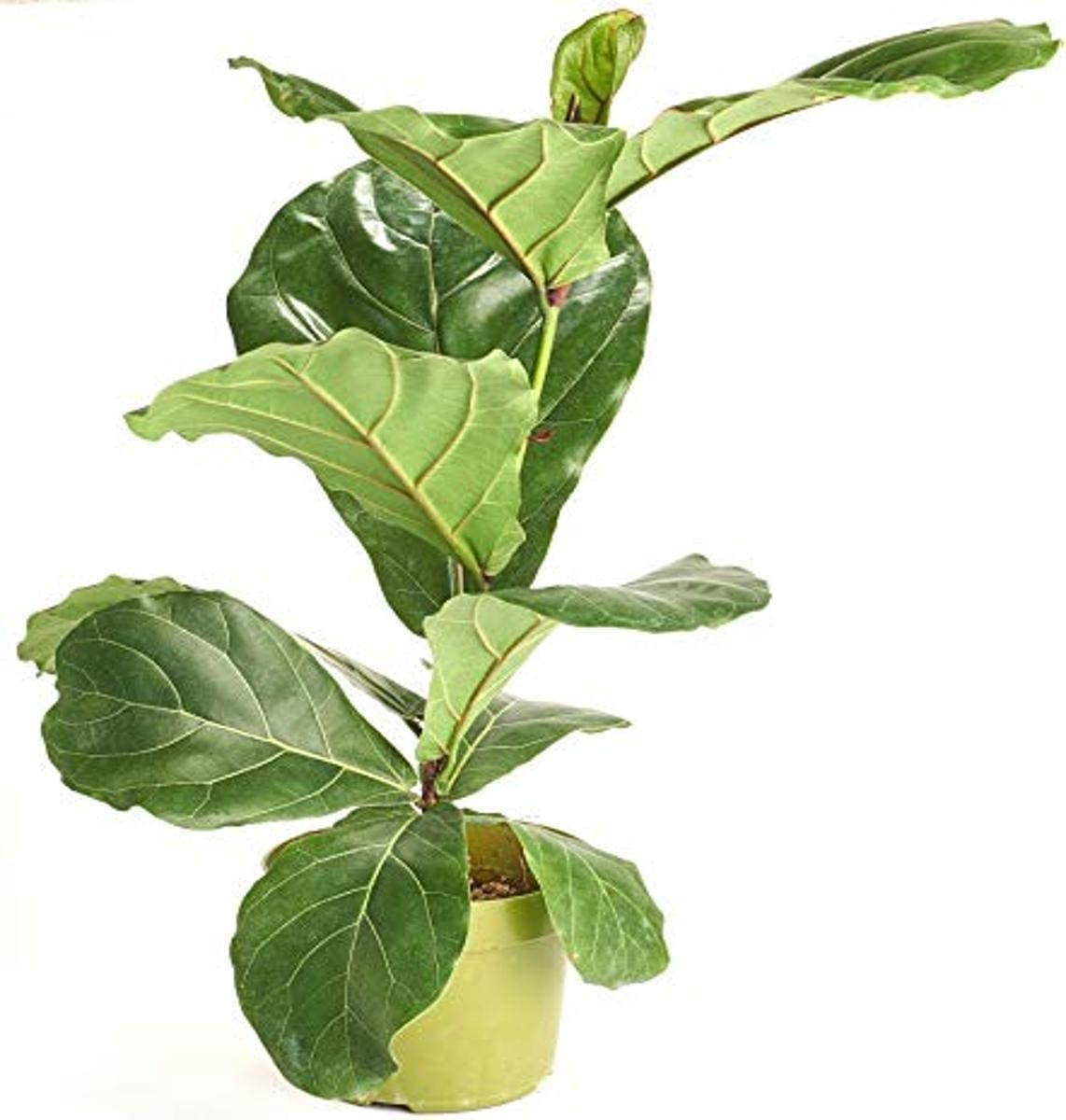 Shop Sale price Succulents Fiddle-Leaf Fig 'Ficus in Lyrata' House Plant 2021 new