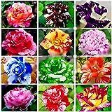 Seifu Semillas Semillas Bonsai 50Pcs / Pack de la secoya de Amanecer Bonsái Grove - Metasequoia glyptostroboides, DIY jardinería