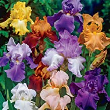 Bearded Iris Mixed Colors 5 Bulbs Plant #BV06