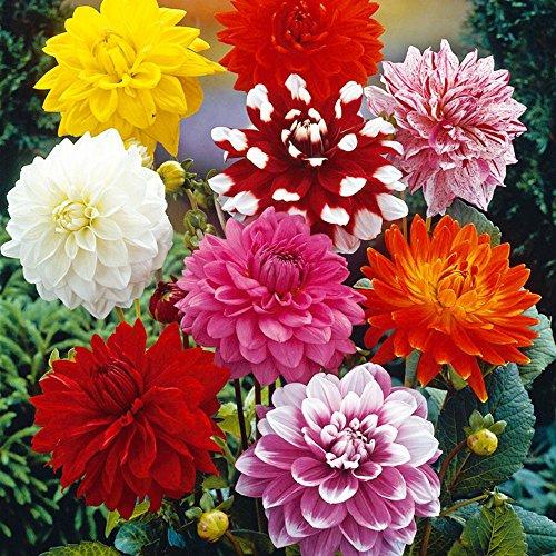 Best Summer Flower -Dahlia