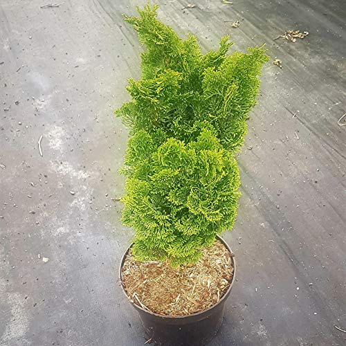 Müllers Grüner Garten Shop Muschelzypresse Chamaecyparis obtusa Nana Gracilis Zwergmuschelzypresse 15-20 cm im Topf