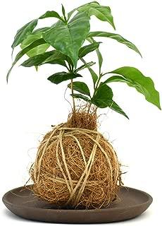 【選べる仕立て】苔玉 コーヒーの木/ココボール コーヒーの木 常滑焼受け皿付 (B:ココボール仕立て, 1:ブラウン)