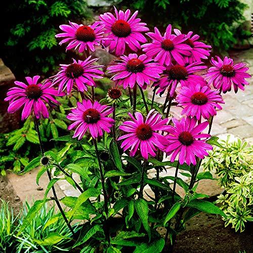 5x Echinacea purpurea | 5er Set Sonnenhut Winterhart | Purpur Sonnenhut Pflanze Winterhart | Pflanzen für Garten