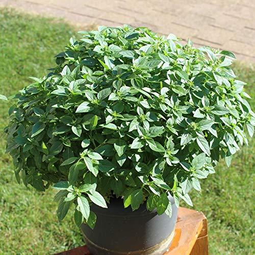 ca. 900 Samen griechischer Basilikum - Ocimum basilicum var minimum, buschiger Wuchs