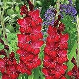 geoponics gladiolus bulbi - star green - gladioli - facile da coltivare fiori - 6 bulbi