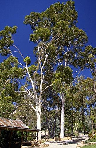 ★ Zitronen - Eucalyptus ★ 100 Samen -Eucalyptus citriodora-
