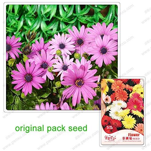 20 graines/Pack, gerberas, mélange terrasse dans la cour de gerbera facile de cultiver des plantes en pot graines de fleurs