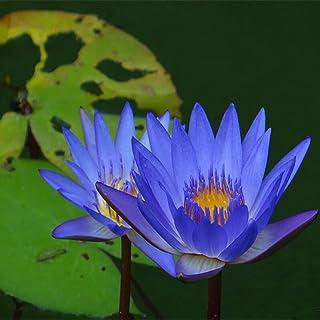 XQxiqi689sy 20 szt./torba nasiona lotosu łatwe w uprawie rośliny kwitnące możliwe do wewnątrz i na zewnątrz wysiewanie bon...