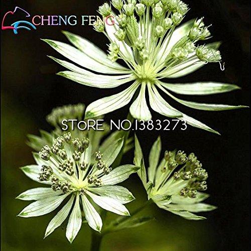 30Stück Major Astrantia Samen Blume Tolle Meisterwurz Bonsai Blumen Pflanzen Samen Topf Topfpflanzen für Haus Garten Dekoration Shown In Desc hellgelb
