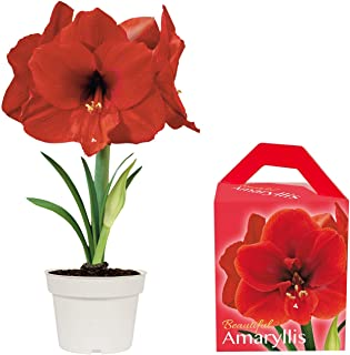 Unique Amaryllis Grow Kit | Grow Your Own Beautiful Red Amaryllis Flower in A Few Weeks | Great Business and Holiday Gift Item | TotalGreen Holland