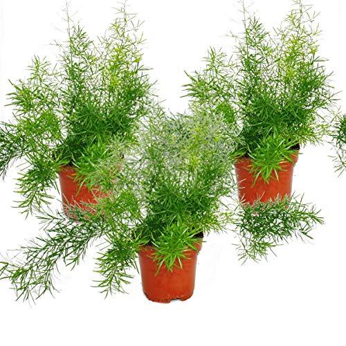 Asparagus densiflorus sprengeri, 3er Set