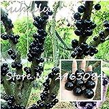 観賞植物プリニアCauliflora種子の100pcsファミリーフトモモ科ジャボチカバフルーツ種子新規工場ブラジルのブドウの木の種子