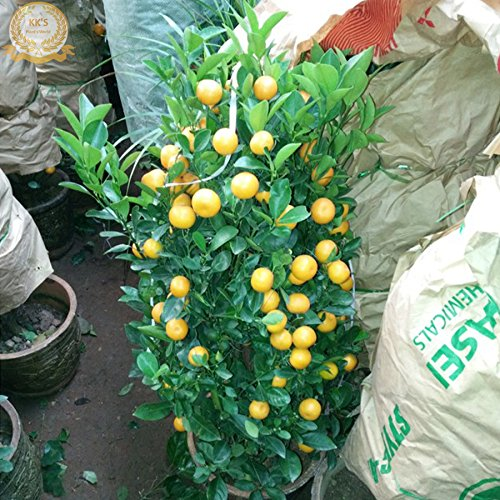 Bonsai Yellow Lemon Tree (40-60cm de haut) Graines, en vrac 20 graines, Organic Tasty Fruit KK189