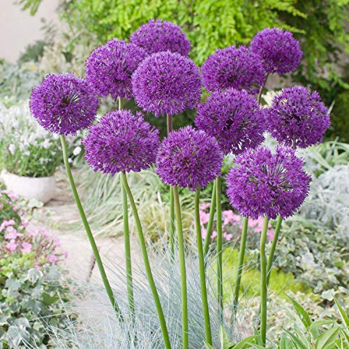 ScoutSeed 1: Allium hollandicum Purple Sensation - Zwiebeln