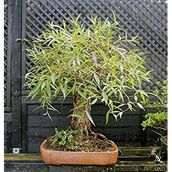 Amazon Com Bonsai Globe Willow Tree Large Thick Trunk Cutting Naturally Round Symmetrical Canopy Indoor Outdoor Live Bonsai Tree Plant Garden Outdoor