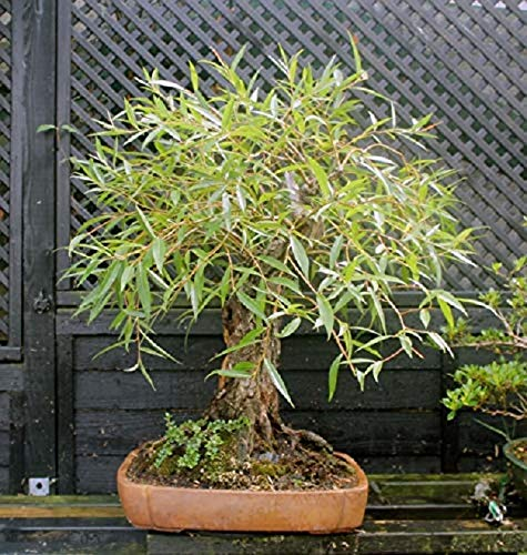 Bonsai Globe Willow Tree - Large Thick Trunk Cutting - Naturally Round & Symmetrical Canopy - Indoor Outdoor Live Bonsai Tree Plant