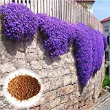 Semillas de árbol frutal vegetal, 500 unidades por bolsa de semillas de flores viables mini prolífico Aubrieta semillas para balcón - Aubrieta Seeds