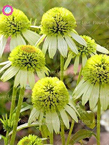 50PCS Rare orange Graines Echinacea vivace Graines de fleurs échinacée Showy Beaucoup-doublé capitules Plante en pot pour le jardin 8