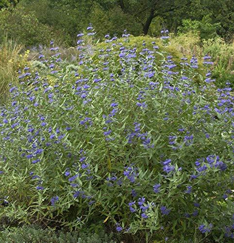 Bartblume Heavenly Blue 80-100cm -...
