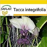 SAFLAX - Anzucht Set - Weiße Fledermausblume - 10 Samen - Mit Mini-Gewächshaus, Anzuchtsubstrat und 2 Töpfen - Tacca integrifolia