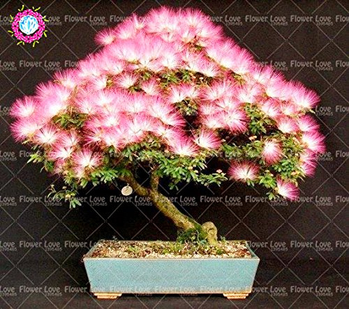 10pcs Bonsai Albizia julibrissin Graines Acacia Graines Graines de fleurs vivaces d'intérieur Plante en pot pour la décoration de jardin