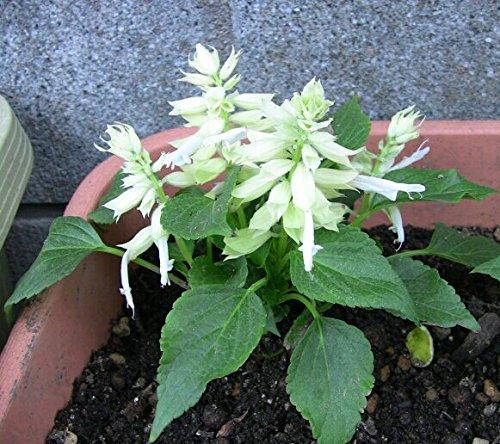 Da Herança Salvia Splendens Salvia branco sementes de flores anuais embalagem originales 30 graines / Paquet Scarlet sabio
