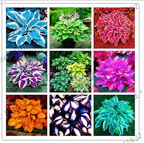 Portal Cool Bunte Hosta Mix Bonsai Seed-Baum-Blumen Pflanzen Dekor Hausgarten