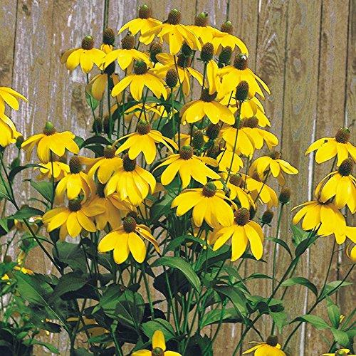 Kölle Bio Fallschirm-Sonnenhut, 3er-Set, Rudbeckia nitida 'Herbstsonne', gelb, Topf 11 cm