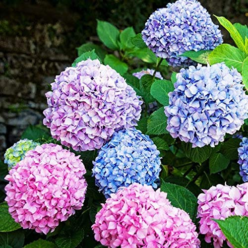 Alick 50 semillas de flor de hortensia