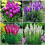 Ferry 100pcs Knopf Snakeroot Bonsai Prachtscharte Bonsai Blumen-Pflanzen-Hausgarten Zierblumen Topfpflanze Bepflanzung: Mix