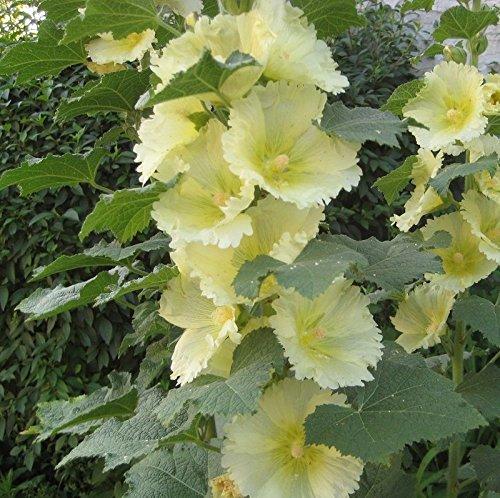 Rosea Alcea jaune pâle graines de fleurs comestibles Roses trémières/racine / tige/feuilles