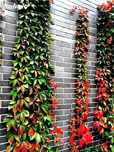 Mix Boston Seeds 100% vrai Parthenocissus tricuspidata semences Plantes d'extérieur QUASIMENT soins décoratifs Escalade usine 100 Pcs