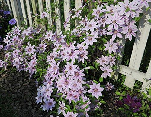 Generic Générique Jardinage Clématite Floride Thunb Fleur Graines Accueil Bonsaï Plant-100 pcs