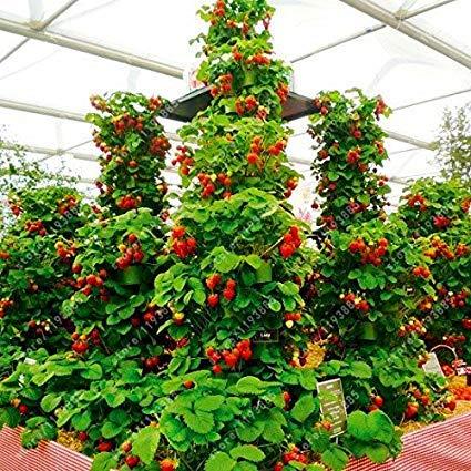 Yukio Samenhaus - Kletter-Erdbeere 'Hummi' lecker immertragend, voll durchwurzelt, Erdbeeren im Garten, auf Balkon & Terrasse wintehart