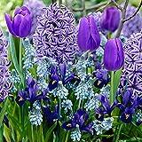 40x Blumenzwiebeln Mix 'Border Garden Blue' | 40er Set Blaue Blütenmischung | Iris + Muscari + Hyacinthus + Tulipa | Blaue Blüten | Blumenzwiebeln Frühblüher