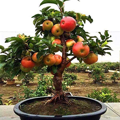 Dwarf Bonsai Apple Tree Seeds - 20 Seeds - Grow Exotic Indoor Fruit Bonsai