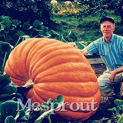 20pcs super grande citrouille Graines de légumes NON OGM bonsaïs comestibles bricolage jardin maison cadeau géant de graines de citrouille pour Halloween plantes fun