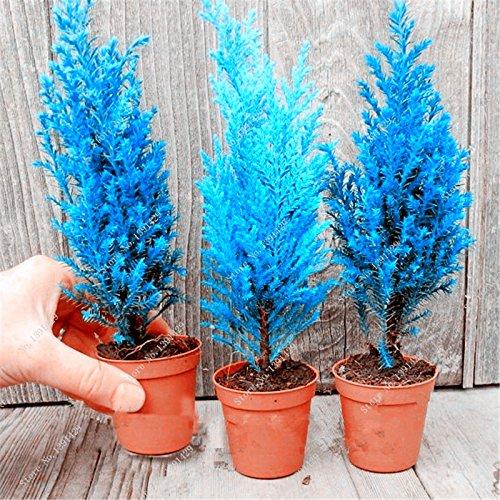 20 pièces italiennes bleu Cyprès semences intérieur bureau extérieur plantes ornementales, arbres rares Noël vivaces Pots de fleurs Pots