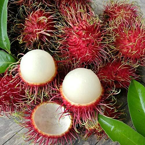 Benoon Rambutan-Samen, 10 Stück/Beutel Rambutan-Samen Frische Nahrhafte Kleine Natürliche Nephelium Lappaceum-Samen Für Den Garten Nephelium Lappaceum Samen