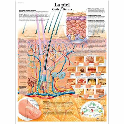 3B Scientific papier bedrukt, huid, 3B Scientific VR3283L Glossy UV Resistant Laminated Paper La Piel Anatomical Chart (The Skin Anatomical Chart, Spanish), Poster Size 20