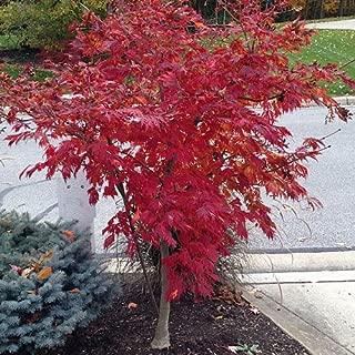 Bonsai Seeds Red Japanese Maple Acer Palmatum Tree 10 Seed!