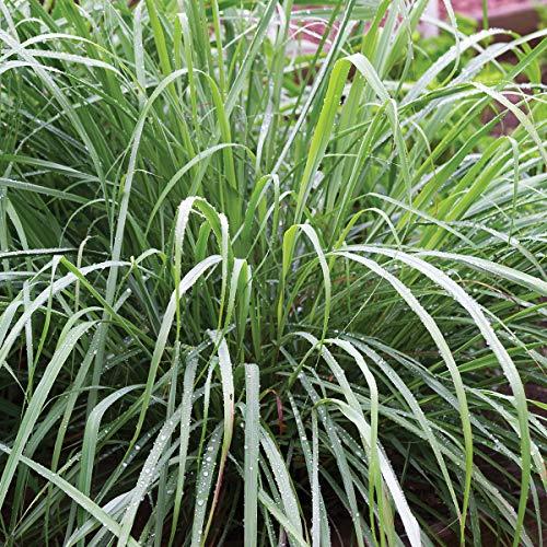 Burpee Lemongrass Herb | 3 Live Plants, 2 1/2' Pot