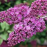 20 piezas semillas de lila raras flores pequeñas rojas púrpuras flores aromáticas plantación fragante jardín fácil conveniente principiantes adecuados