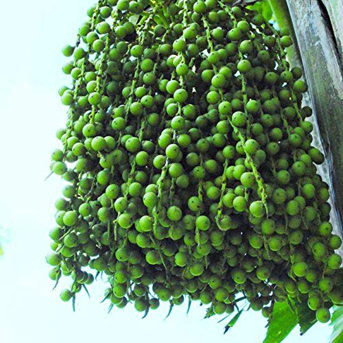 10 Samen Dypsis lutescens Golden Cane Palm, Areca Palme, gelbe Palme oder Schmetterling Palme