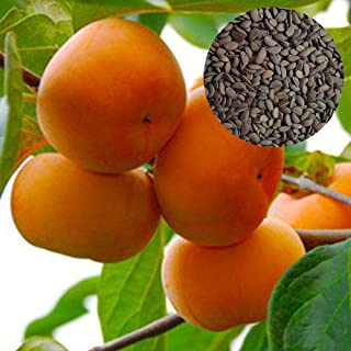 200 Persimmon Seeds Matures Quickly Organic Grown Easy to Grow Deluxe Variety Fruit Wonderful Gardening Gifts Hardy Germination Rate 96%
